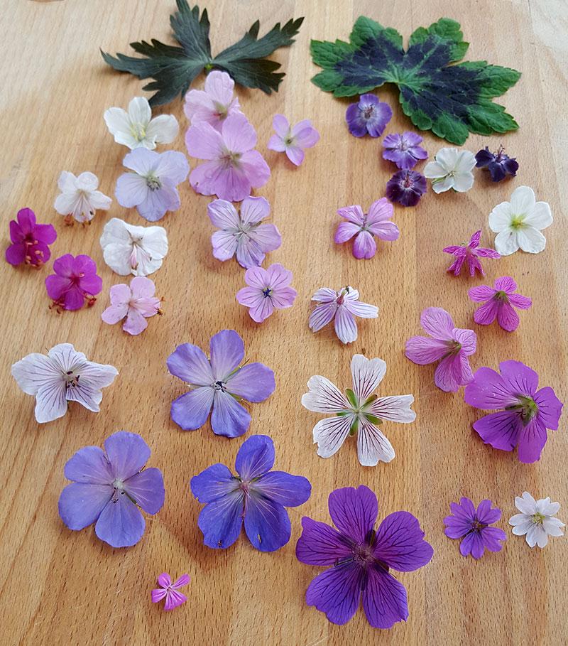 Olika sorters blommor hos näva, geranium