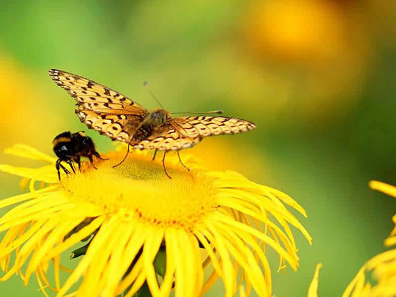 Fjäril och humla på strålöga, Telekia speciosa