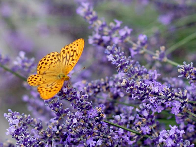Fjäril på blå lavendel
