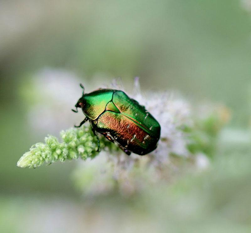 Gräsgrön guldbagge - Cetonia aurata