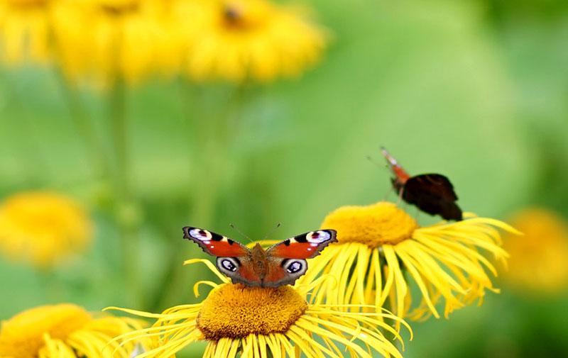 Fjäril påfågelöga på strålöga