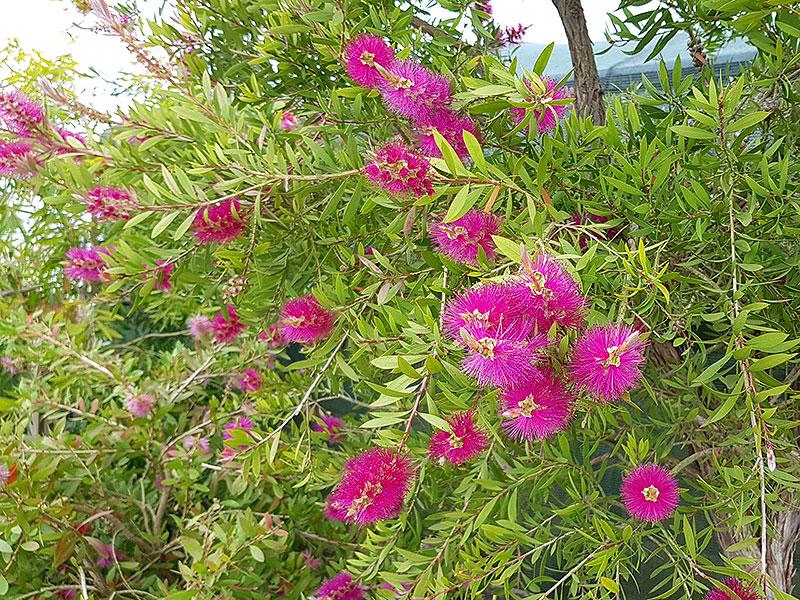 Flaskborsbuske med purpurfärgade blommor