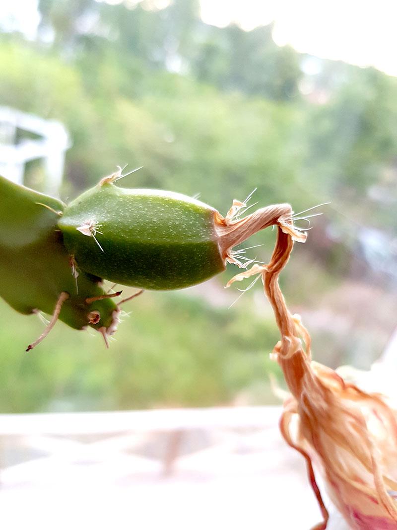 Fruk som börjar utvecklas på bladkaktus