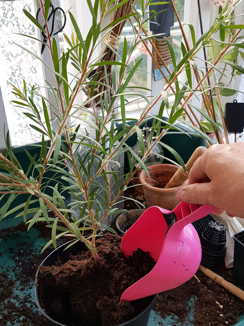 Plantering av växter som tagits hem med flyget
