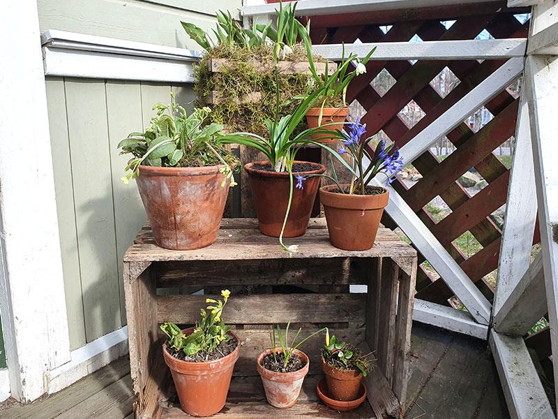 Vårväxter i kruka vid entren