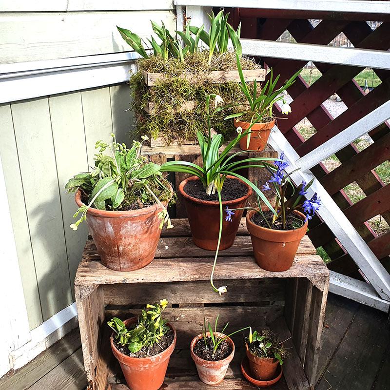 Vårväxtteater med vårblommor