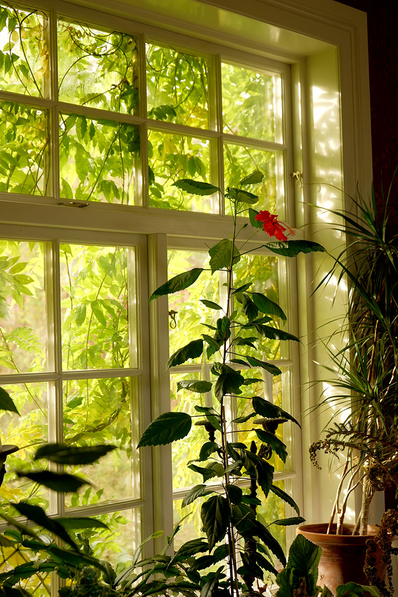 Hibiskus i stort fönster med blåregn utanför