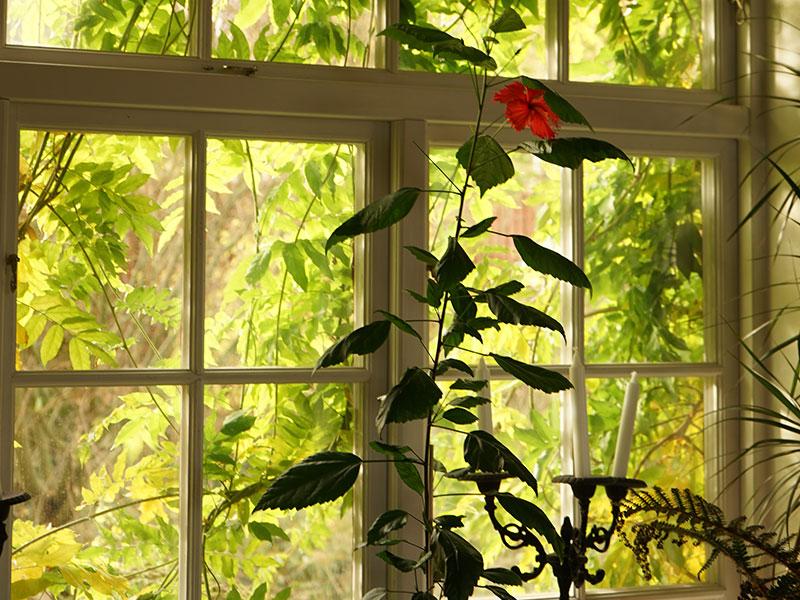 Hibiskus i fönster med utsikt