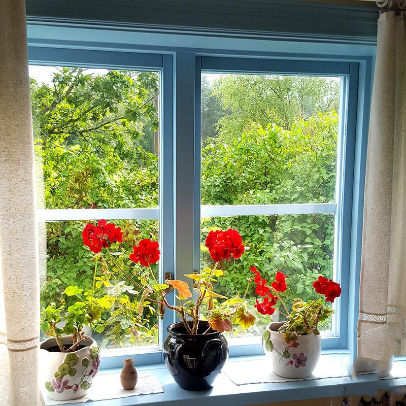 Röda pelargoner i ett fönster