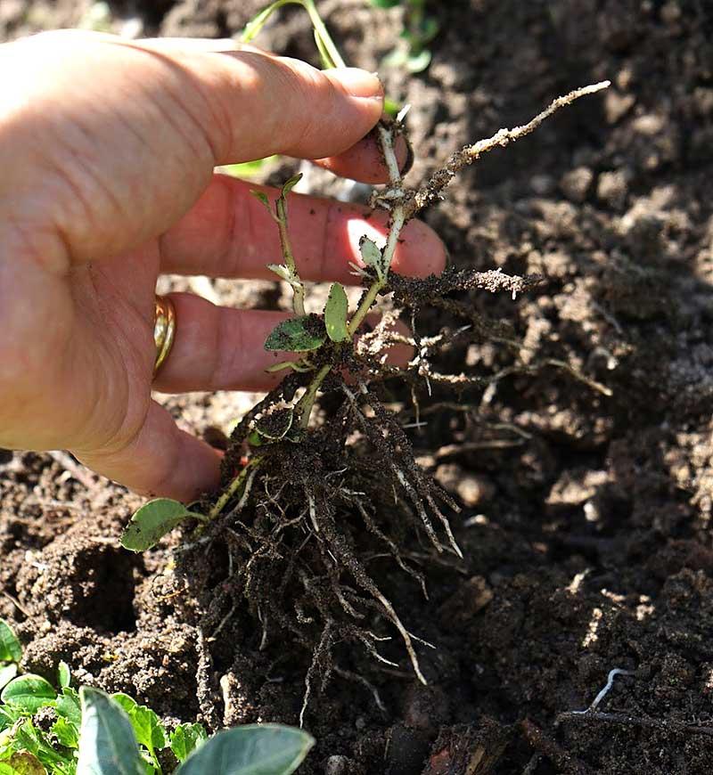Massor med rötter på avläggare av vinca major
