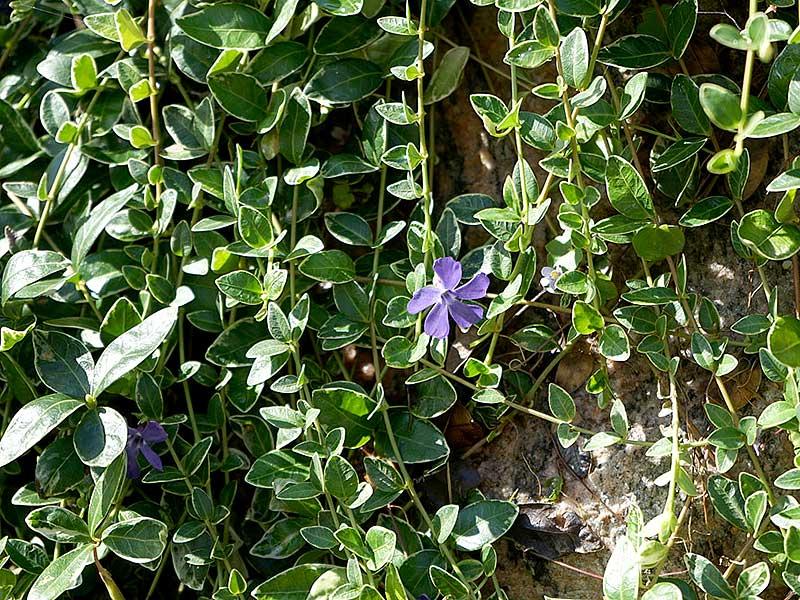 Vinca major variegata med blå blommor