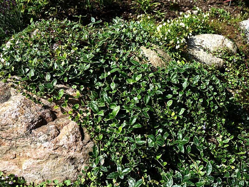 Vintergröna med variegerade blad, Vinca major variegata