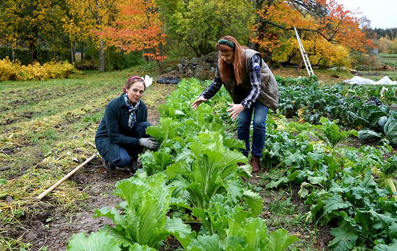 Karin Elmberg och Lena Ljungquist med plantor av mizunakål i köksträdgården