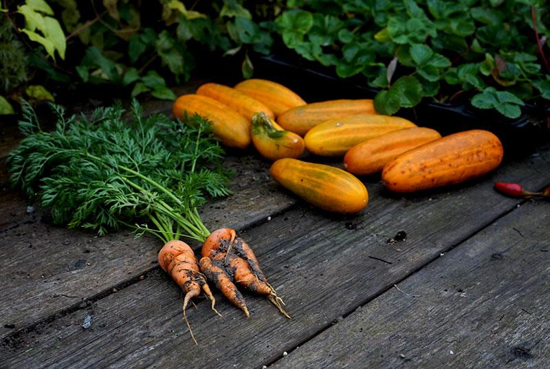 Skörd av grönsaker, gurka och morötter