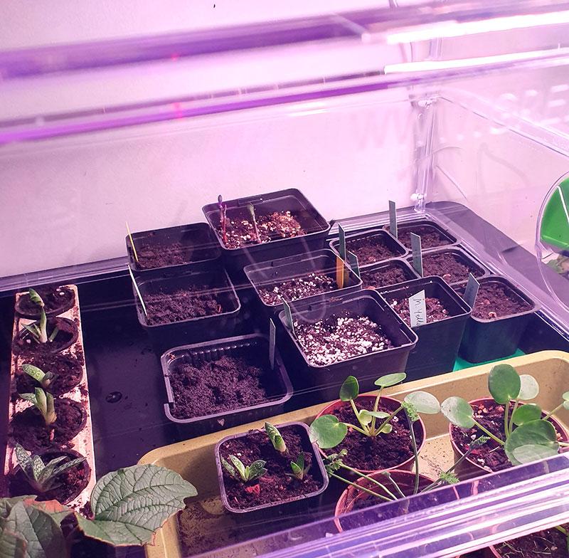 Frösådder i miniväxthus vitopod