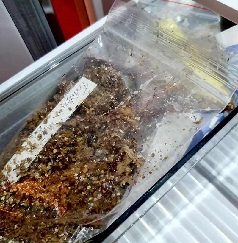 Pionfröer lagda i kylskåpet för att gro