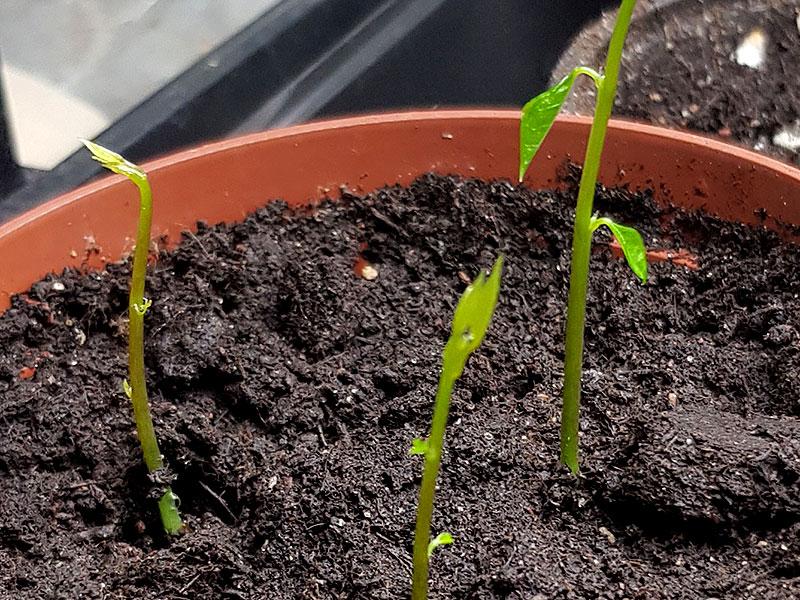 Nya frösådder av blåregn med undervärme och växtlampa