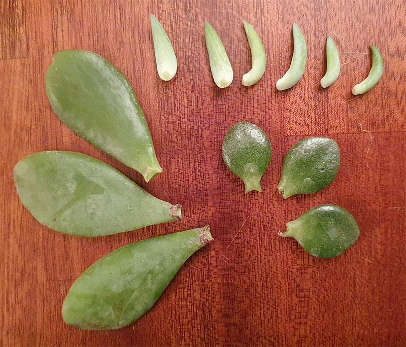 bladsticklignar av fetbladsväxter