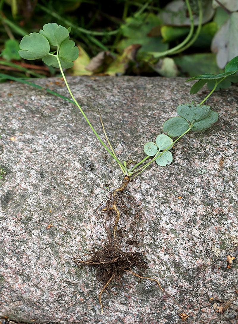Fröplanta av akleja med rottrådar
