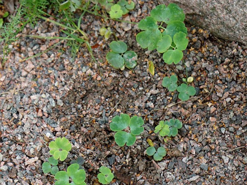 Fröplantor av akelja som självsåtts i grusgången