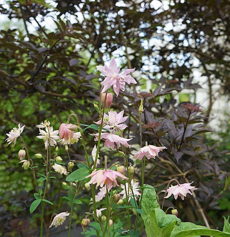Akleja med rosa blommor