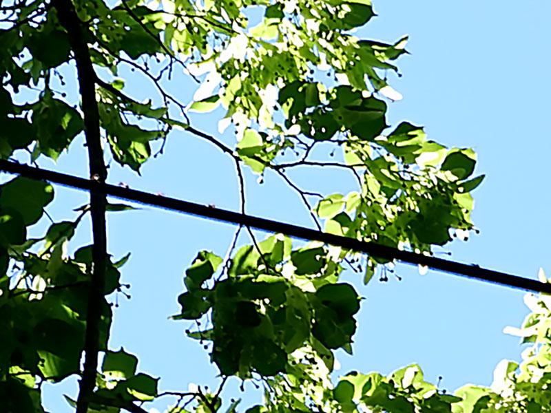 Stackmyror går på lina över vägen