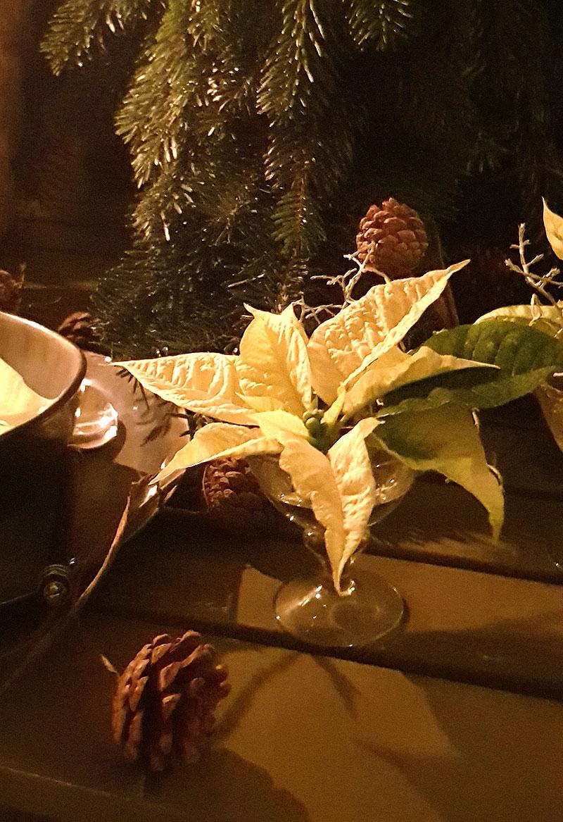 Julstjärna som snittblomma i glas