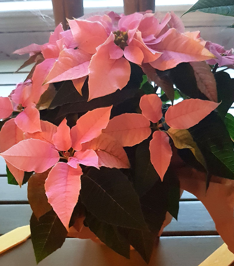 Ljusrosa julstjärna Princettia Pink