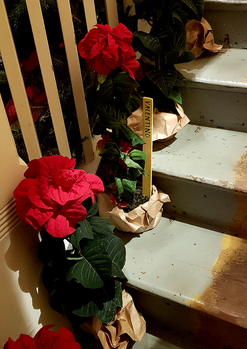 Julstjärna med krusiga, röda blad, 'Valentino'