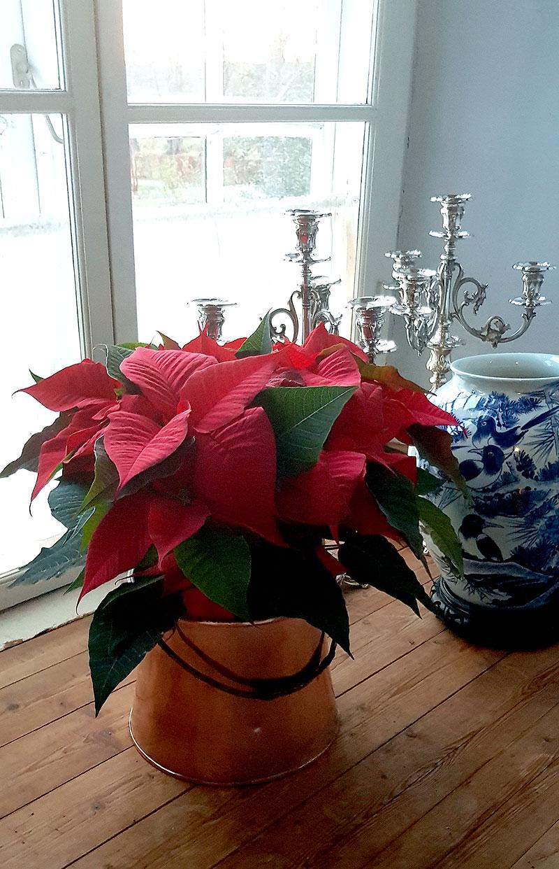 Röd julstjärna i kopparbunke