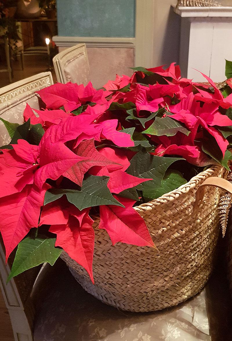 Flätad korg full med rosa julstjärnor