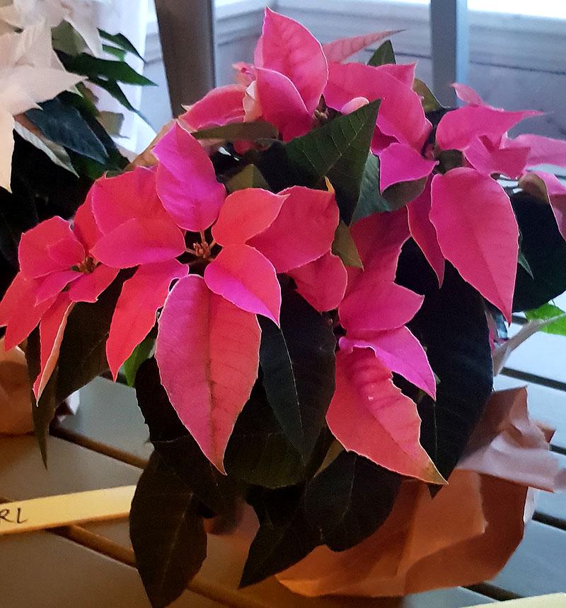 Rosablommande julstjärna, Princettia Hot Pink