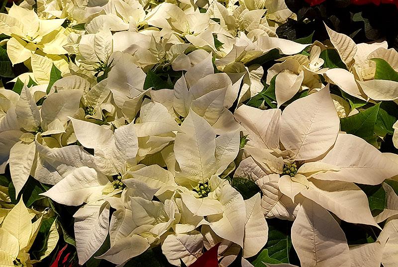 Poinsettia, vit julstjärna 'White star'