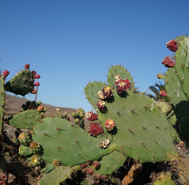 Fikonkaktus, opuntia med frukter