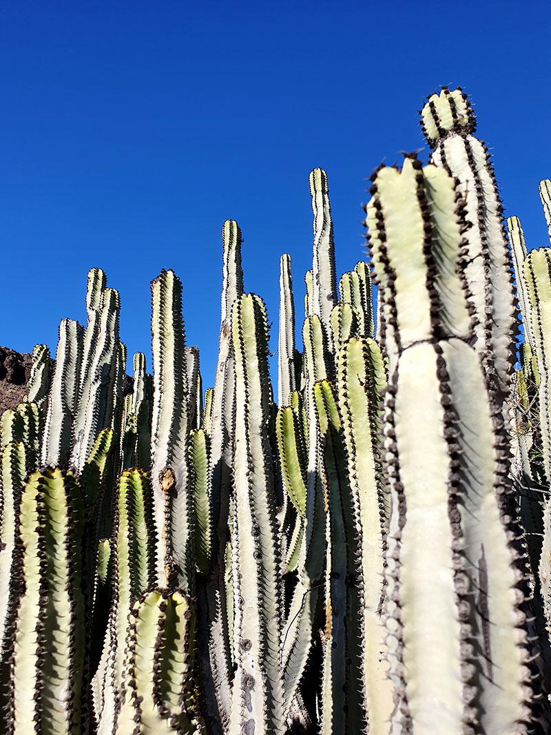 Kandelabereuphorbia, kanarisk kaktus är en törel