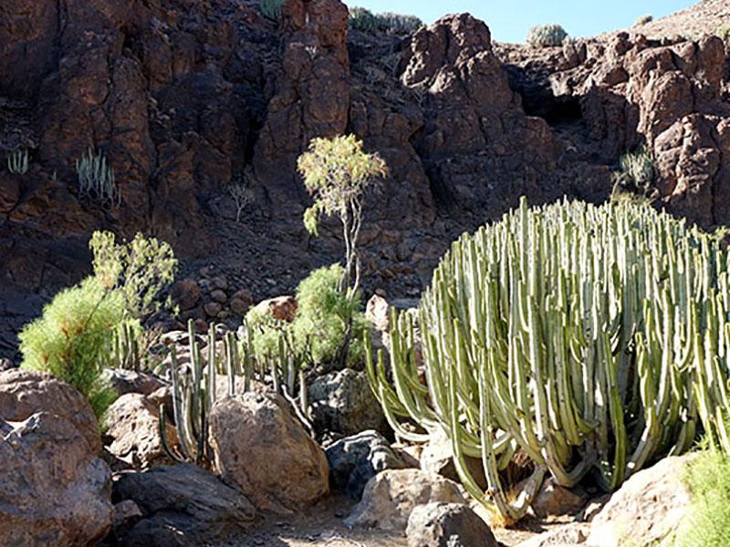 Kandelabereuphorbia, kanarisk kaktus växer i bergen på Gran Canaria