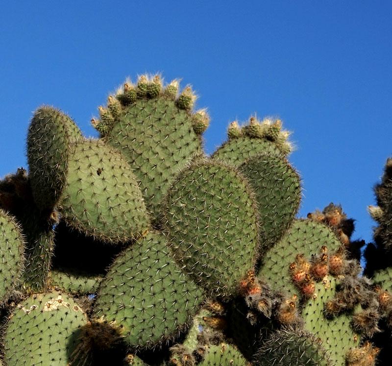 Fikonkaktus, opuntia med ludna frukter