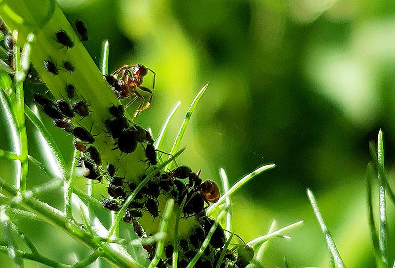 Myra som anfaller svarta bladlöss