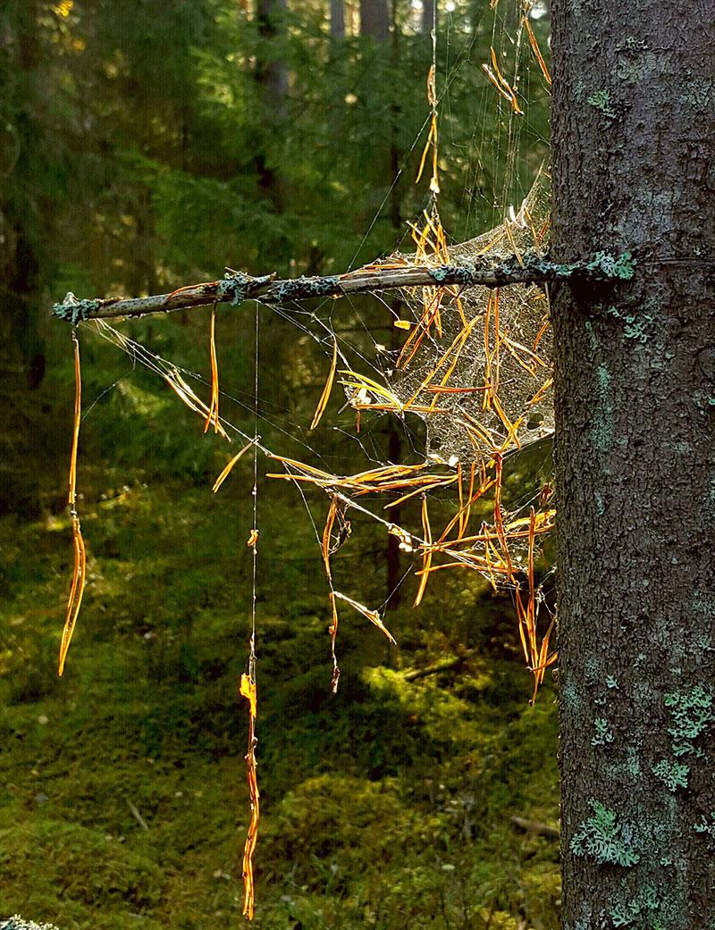 Magiskt i skogen med barr och spindelväv