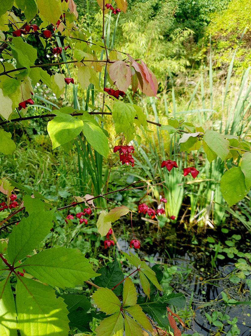 Körsbärsbenved invid dammen i min trädgård