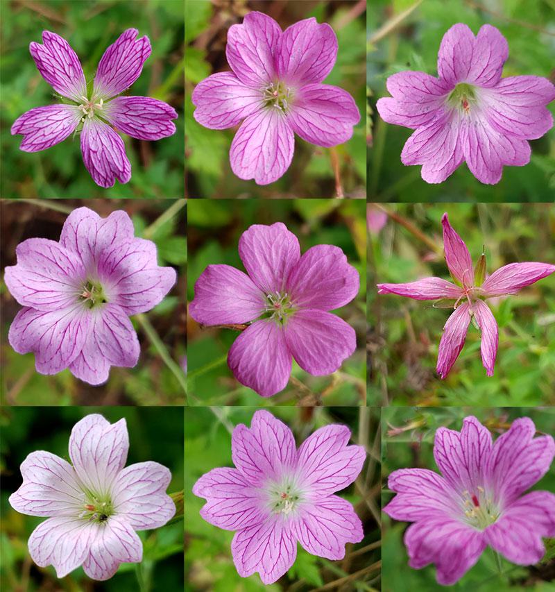 Olika former av rosa spansknäva Geranium endressii
