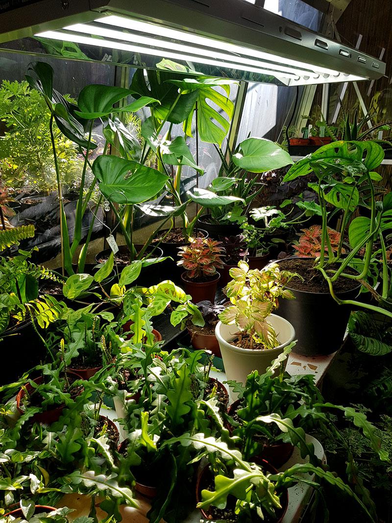 Det växer som en hel djungel i växthuset under växtlampan