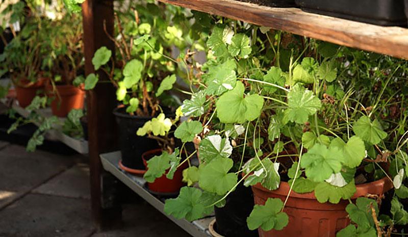 Pelargoner står i vinterförvar i växthuset under bänken