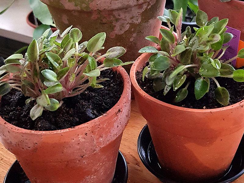 Omplanterade mikromini saintpaulia i lerkruka