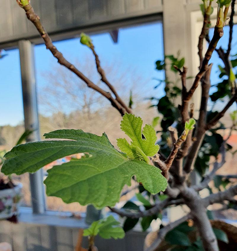 Fina nya blad på fikonet på våren