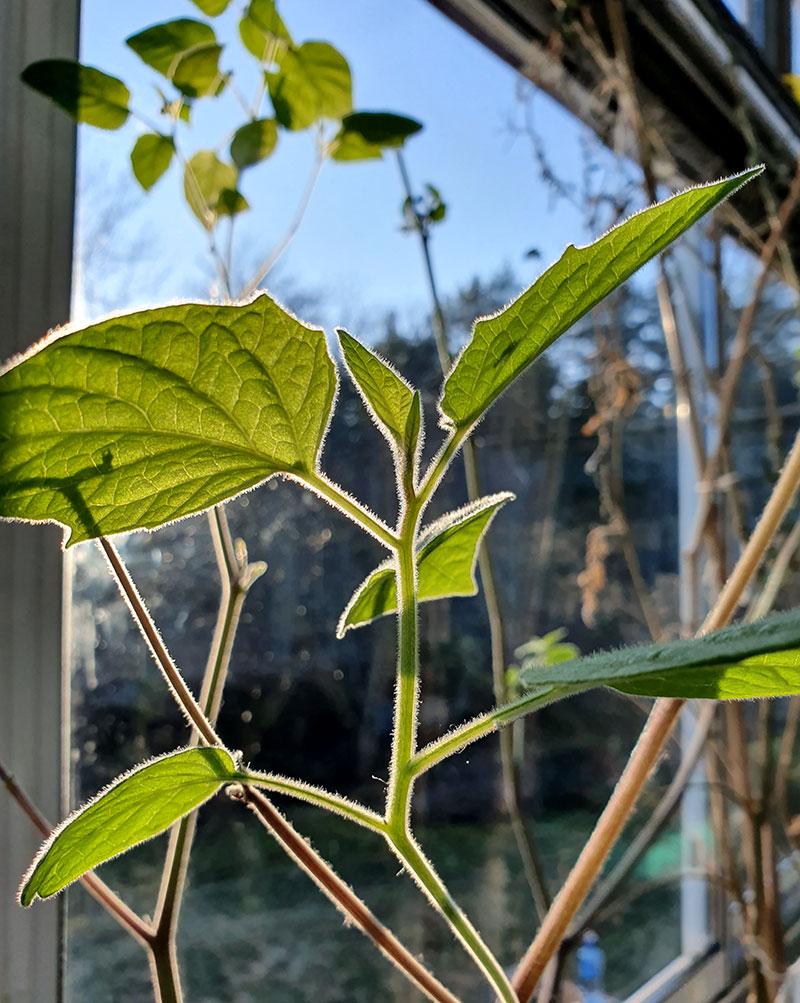 Kapkrusbär, övervintrad planta