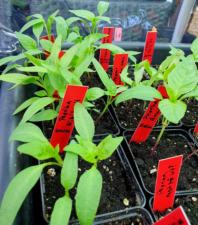 små, frösådda chili- och paprikaplantor