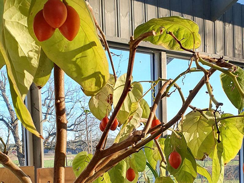 tamarillofrukter på ett övervintrat träd