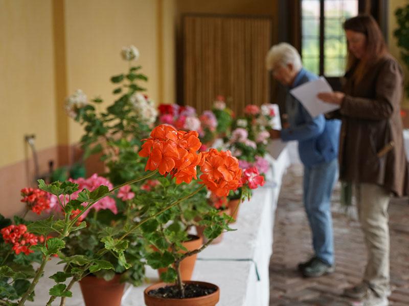 utställning med pelargoner på uppsala botaniska trädgård
