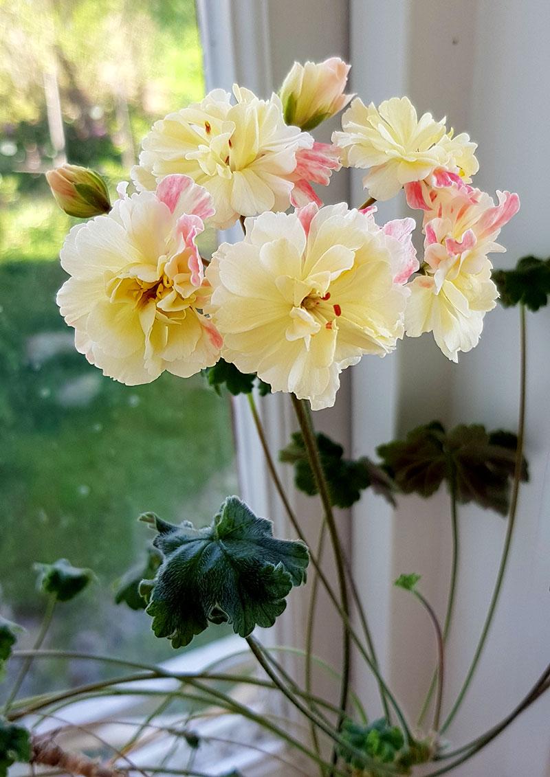 Frösådd zonarticpelargon med gula blommor